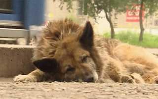 Собака найда комсомольск на амуре